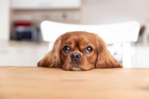 Cute dog behind the kitchen table